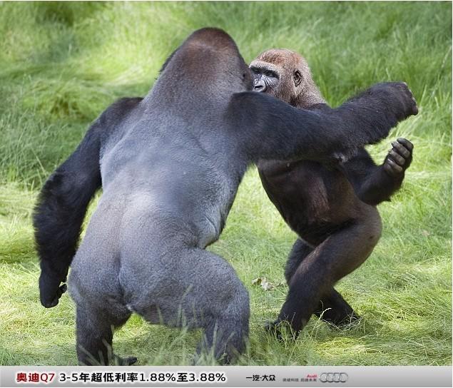 经济网综合网讯 据英国《每日邮报》8月15日消息,阔别近三年的黑猩猩兄弟日前在英国朗利特野生动物园(LongleatSafariPark)重聚。它们难掩激动之情,给了彼此一个热切的拥抱。 黑猩猩Kesho和它弟弟Alf在过去的三年中被饲养在不同的野生动物园内。可是令人称奇的是,重聚时它们并没有强烈的生疏感。它们大力拥抱、握手勾肩,用这些亲昵的举动打破了久别重逢后交流的坚冰。在这三年中,Kesho已经从一只小黑猩猩成长为高大的银背大猩猩。可是这并未阻止Alf顺利地认出它的哥哥。由于黑猩猩和人类的DNA有9