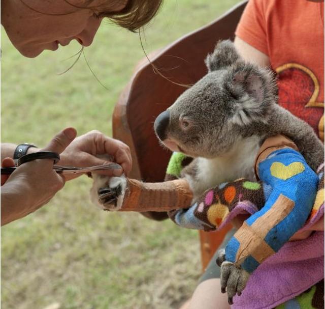 旨在拯救濒临灭绝的考拉