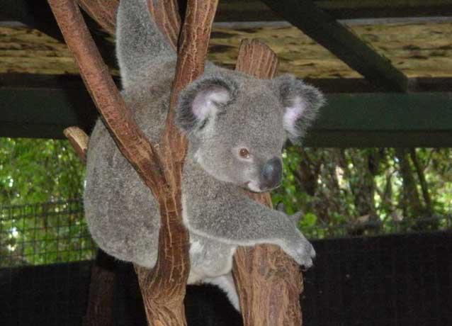 经济网综合网讯 考拉的形象十分可爱,它拥有松软的皮毛和泰迪熊般的耳朵,大家都十分钟爱它。然而,据英国《每日邮报》8月27日报道,美国摄影师乔尔?沙托尔在澳大利亚昆士兰州进行了长达3周的考察后,发现考拉已经接近灭绝。   据报道,沿澳大利亚东海岸1500英里范围内的桉树林曾经是多达1000万只考拉的家园,但是现在,随着城市化进程的加快和人类的猎捕,该地区只剩下约2000只考拉。在城市化进程中,机动车、宠物狗甚至铁丝网围栏都会将考拉置于危险之中。   据悉,澳大利亚的志愿者们已经成立了各种团体,旨在拯救